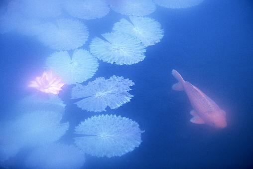 Carp「Koi carp (Cyprinus carpio) swimming near water lilies (Nymphaea sp.)」:スマホ壁紙(19)