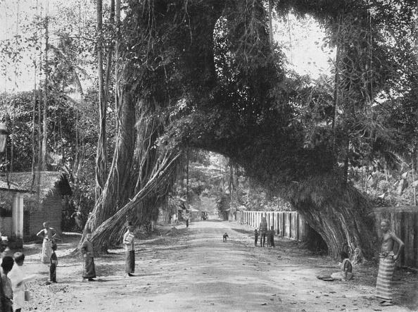 Tropical Tree「Malerischer Alter Feigen Baum (Ficus Indica) An Der Strasse Clombo-Galle Bei Kalutara」:写真・画像(4)[壁紙.com]