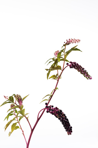 植物「Twig of American pokeweed in front of white background」:スマホ壁紙(7)