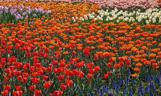 お祭り「Tulips at the Canadian Tulip festival」:スマホ壁紙(13)