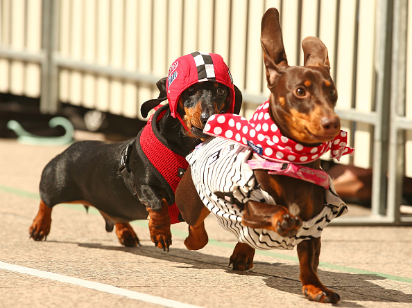 Sports Race「Dachshund Racing In Melbourne To Celebrate Oktoberfest」:写真・画像(3)[壁紙.com]