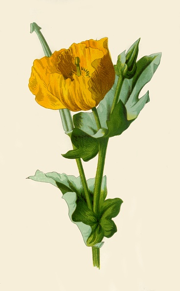 Petal「Yellow Horned Poppy」:写真・画像(19)[壁紙.com]