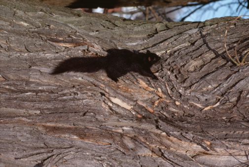 Gray Squirrel「Black squirrel on tree trunk」:スマホ壁紙(13)