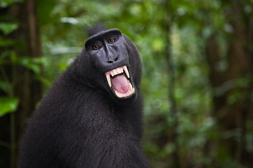 Warning Behavior「Celebes crested macaque baring his fangs in warning」:スマホ壁紙(14)