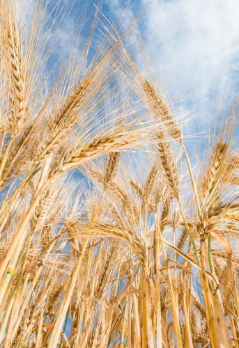 Barley「Barbey wheat」:スマホ壁紙(4)