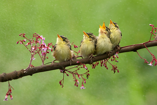 Green Background「Four birds sitting on a branch, Indonesia」:スマホ壁紙(12)