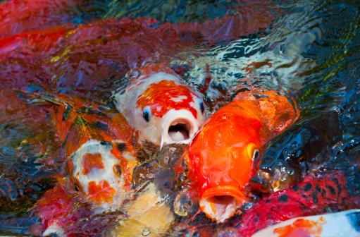 Carp「Japanese Koi Fish in an outdoor Koi Pond」:スマホ壁紙(11)