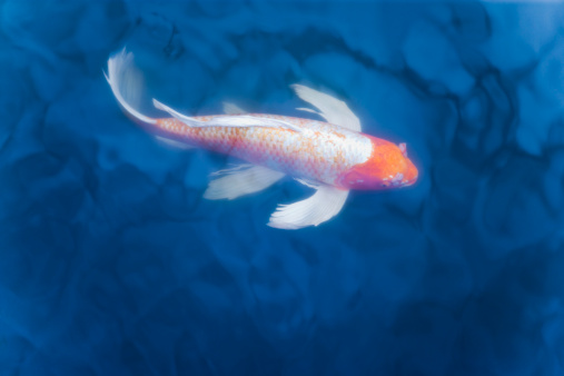 Carp「Japanese koi fish in pond, high angle view」:スマホ壁紙(17)