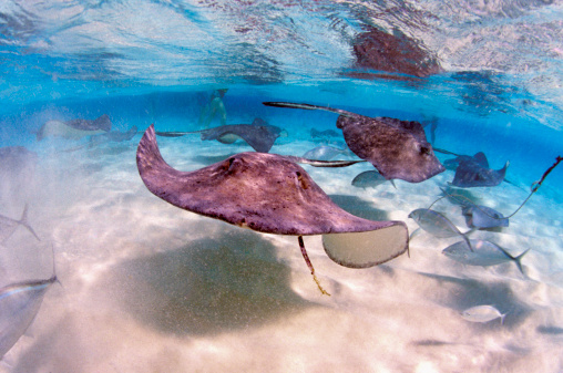 ケイマン諸島「Stingrays and fish in the Caribbean off Grand Cayman Island」:スマホ壁紙(11)