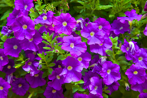Flower Head「Purple annual plant's flowers」:スマホ壁紙(0)