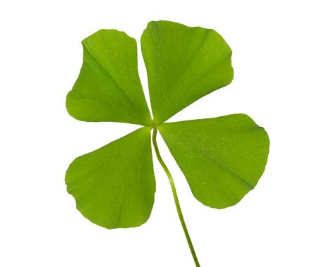 Good Luck Charm「Real Four Leaf Clover Hi Key」:スマホ壁紙(16)