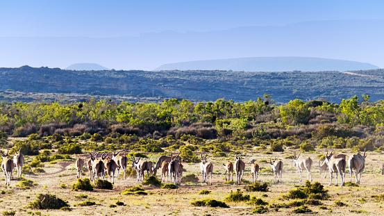 Wilderness Area「Herd of eland in the Cederberg Wilderness Area in South Africa」:スマホ壁紙(12)