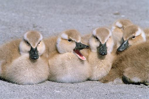 Falkland Islands「Falkland Steamerduck Ducklings Sitting on Beach」:スマホ壁紙(19)