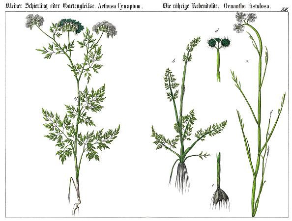 Parsley「The Fool'S Parsley (Aethusa Cynapium) And The Tubular Water Dropwort (Oenanthe Fistulosa). Lithography. From: Die Giftgewaechse Deutschlands Und Der Schweiz. Verlag J. F. Schreiber: Esslingen (1867).」:写真・画像(1)[壁紙.com]