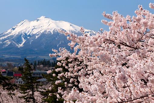 桜「Mt. Iwaki and cherry blossoms, Aomori Prefecture, Honshu, Japan」:スマホ壁紙(7)