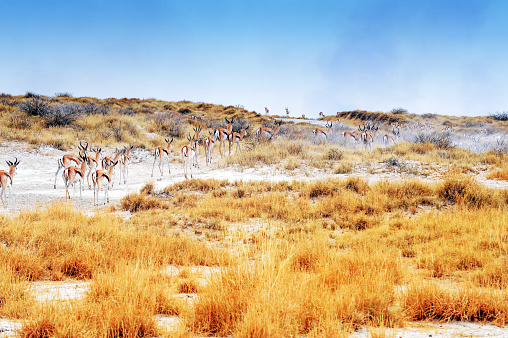 Namibia「Landscape with a herd of springbok  in the Etosha National park,Namibia」:スマホ壁紙(15)