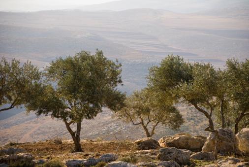 West Bank「Landscape with olive trees in Palestine」:スマホ壁紙(2)