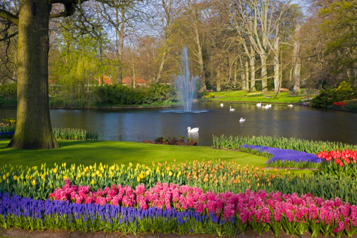 Keukenhof Gardens「Landscape with tulips Keukenhof Gardens Holland」:スマホ壁紙(1)