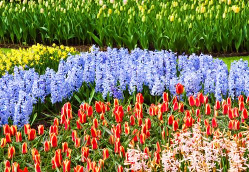Keukenhof Gardens「Landscape with tulips Keukenhof Gardens Holland」:スマホ壁紙(12)