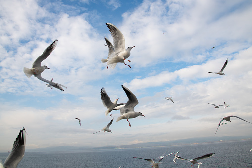 Turkey - Bird「Flying seagull」:スマホ壁紙(17)
