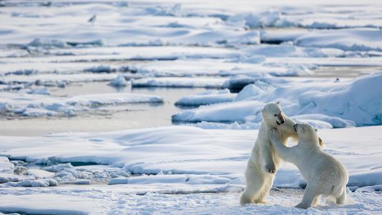 Pack Ice「fighting for fun on the pack ice, Ursus Maritimus, Spitzbergen, Svalbard」:スマホ壁紙(18)