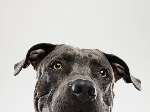 Animal Eye「Pit bull dog staring portrait」:スマホ壁紙(14)