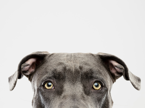 Domestic Animals「Pit bull dog studio portrait」:スマホ壁紙(14)