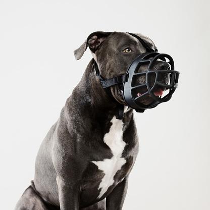 Stray Animal「Pit bull dog guarding with muzzle」:スマホ壁紙(19)
