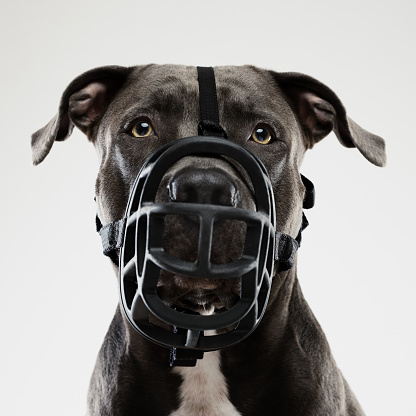 Staring「Pit bull dog posing with muzzle」:スマホ壁紙(12)