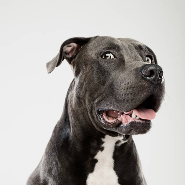 Pit bull dog looking at camera studio portrait:スマホ壁紙(壁紙.com)