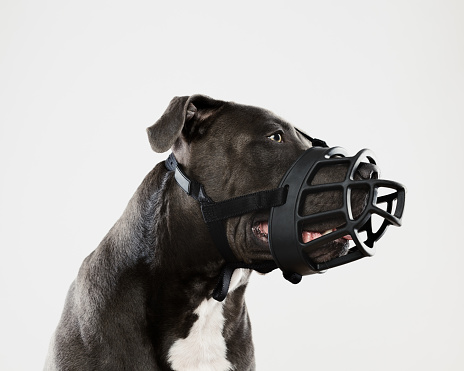 Looking Away「Pit bull dog with big muzzle」:スマホ壁紙(9)
