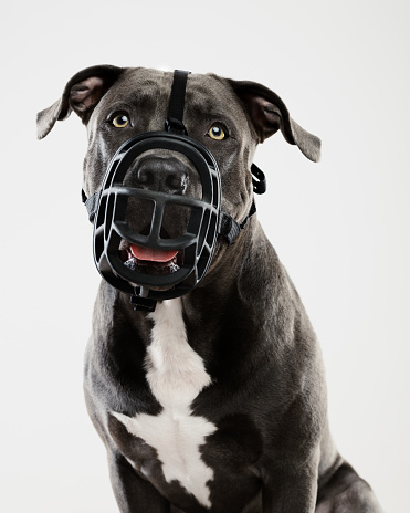 Staring「Pit bull dog portrait with muzzle」:スマホ壁紙(15)