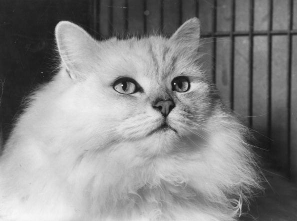 Chinchilla - Rodent「Chinchilla Cat」:写真・画像(9)[壁紙.com]