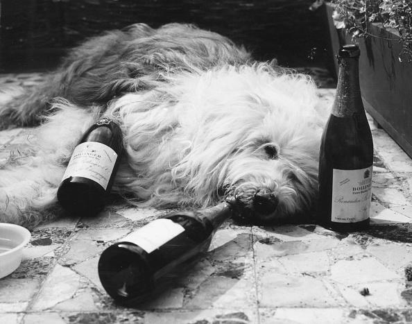 People「Dulux Dog Drunk」:写真・画像(12)[壁紙.com]