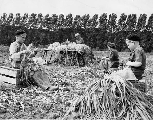 Crop - Plant「Onion Crop」:写真・画像(14)[壁紙.com]