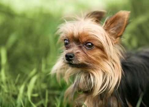 Long Hair「Small Yorkshire Terrier in Field」:スマホ壁紙(15)