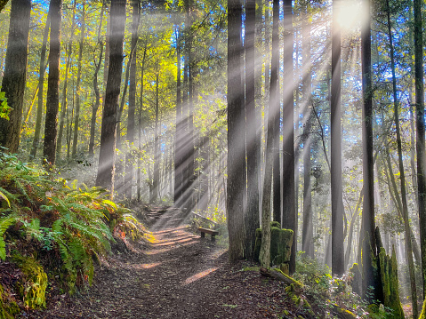 Hiking「Sun rays in redwood forest on northern California - Dramatic」:スマホ壁紙(6)