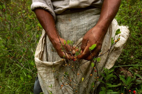 葉・植物「Bolivian Coca Growers Hope for Better Days Under Morales」:写真・画像(11)[壁紙.com]