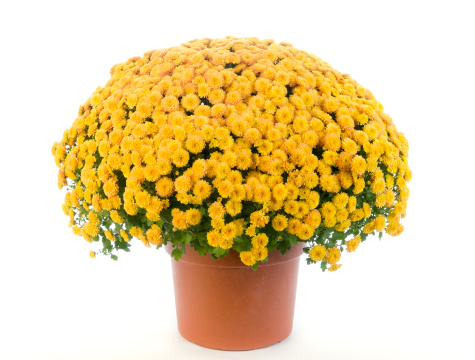 Chrysanthemum「Potted Yellow Chrysanthemum - Mums」:スマホ壁紙(1)