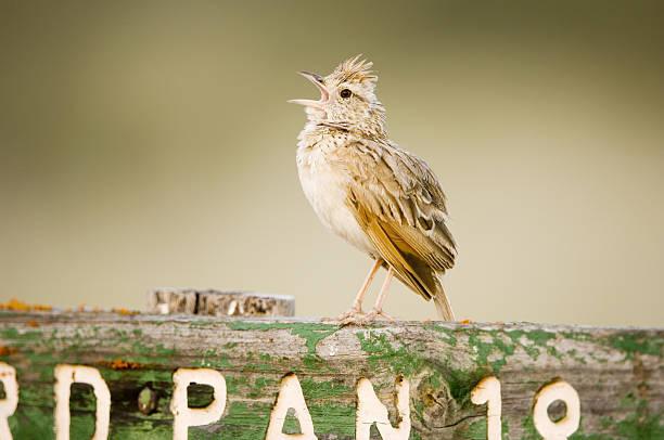 Clapper lark, Mirafra apiata, male singing at song post, Central Kalahari Game Reserve, Botswana:スマホ壁紙(壁紙.com)