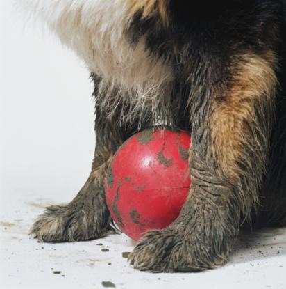 Mischief「Red ball between muddy paws of Australian sheperd, close-up」:スマホ壁紙(10)