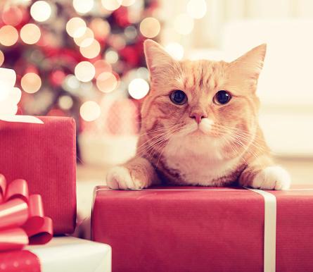 ショートヘア種の猫「ジンジャー英国ショートヘア種の猫のクリスマスインテリア」:スマホ壁紙(16)