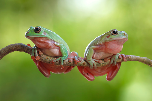 Fighting「Two dumpy tree frogs on a branch, Indonesia」:スマホ壁紙(12)