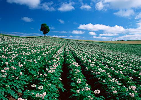 Biei Town「Potato Field」:スマホ壁紙(12)