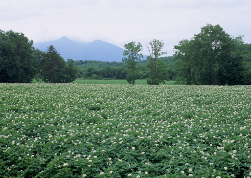 花「Potato Field」:スマホ壁紙(6)