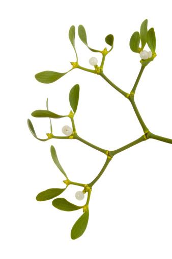 宿り木「ヤドリギ(Viscum アルバム)」:スマホ壁紙(11)
