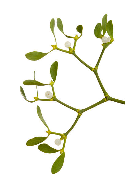 Mistletoe (Viscum album):スマホ壁紙(壁紙.com)