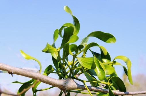宿り木「mistletoe」:スマホ壁紙(2)