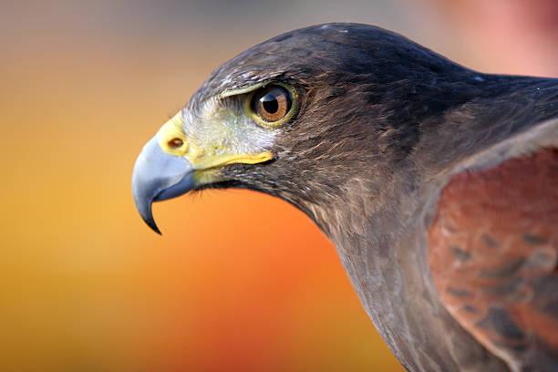 Black Falcon:スマホ壁紙(壁紙.com)