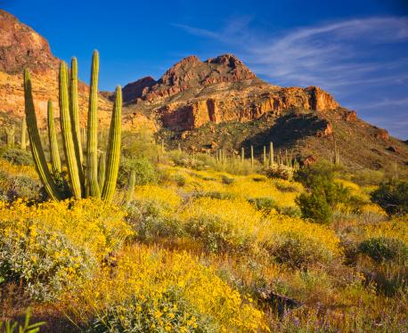 Wildflower「The amazing national monument Organ pipe cactus」:スマホ壁紙(8)